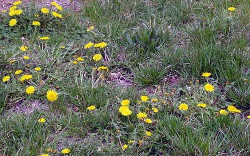 How to natural destroy a dandelion plant.